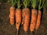 ШАМАРЭ морковь