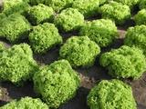 ЗЛАТАВА салат листовой