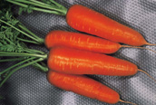КУРОДА ШАНТАНЕ морковь